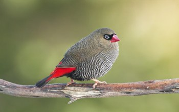 firetail,cute
