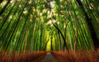 Bamboo,forest,Bamboo,Japan