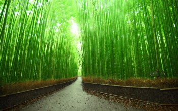 Bamboo,Japan,forest,kyoto
