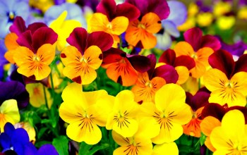 yellow,pansies