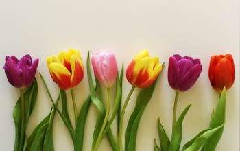 цветы,wood,gift,tulips,colorful