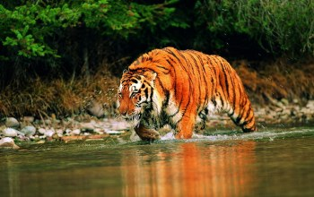 river,stalking,through,a,Tiger