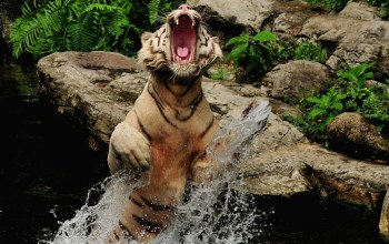 Tiger,roar,splash