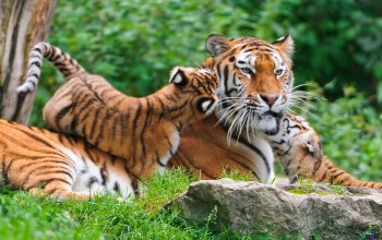 Tiger,kits,with