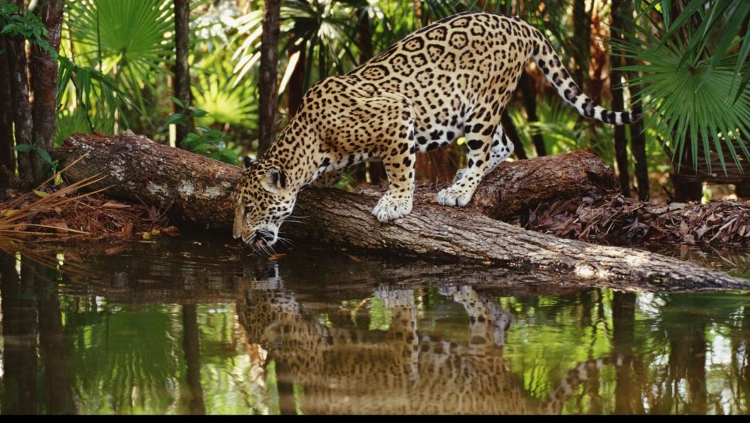 Jaguar,watering,at,hole