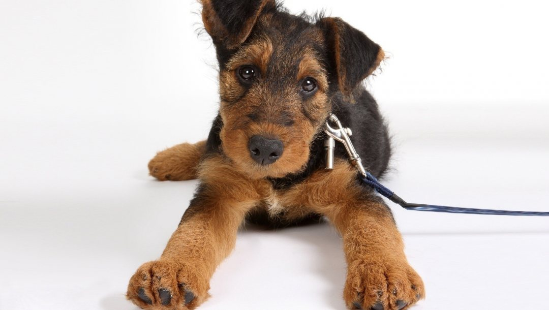 airedale,terrier,puppy