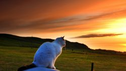 Sunset,watches,White,beautiful,cat