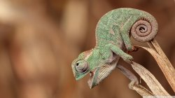 chameleon,close,up