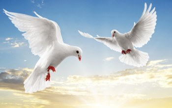 White,flying,doves