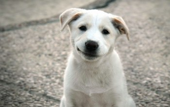 smirk,a,with,White,puppy
