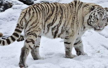 in,Tiger,snow,the,White