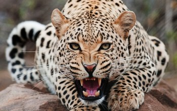 up,close,angry,Jaguar