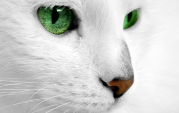 White,eyes,cat