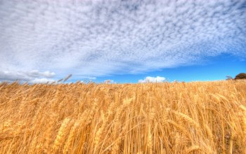 skies,under,wheat,blue,field
