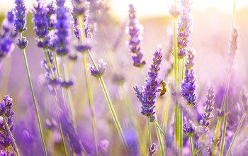flower,Purple,spring,lavender
