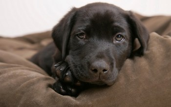 brown,Couch,puppy,lab