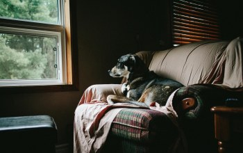 dogs,windows,brown,home,gray