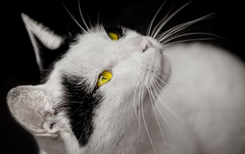 cat,with,yellow,eyes