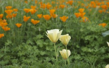 california,poppy
