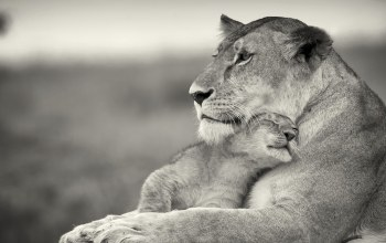 and,cub,lioness