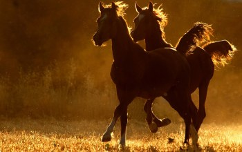 in,light,golden,Horses