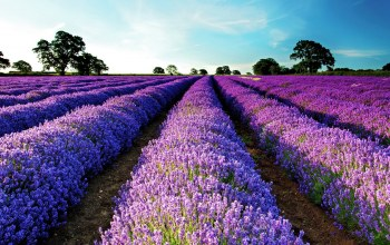in,lavender,france,fields