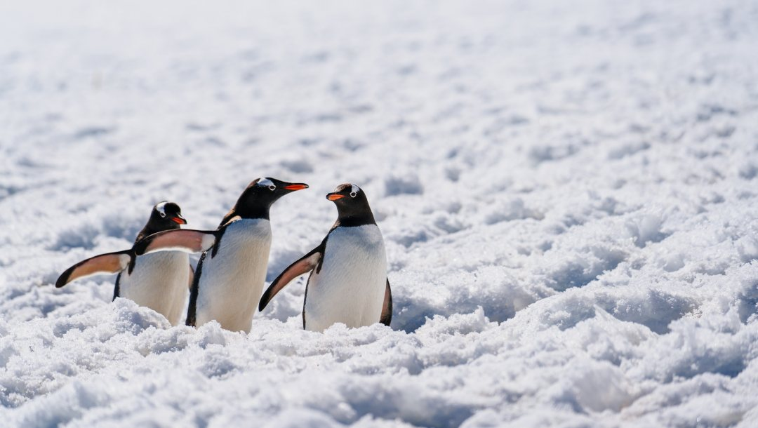 penguins,wildlife,antarctica