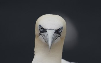 eyes,gannet,wildlife