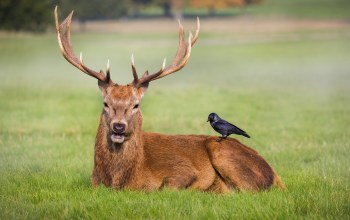 field,grass,red deer,deer,crow,antlers,friends,wildlife,park