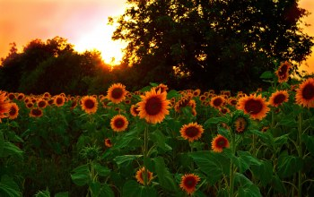 field,Sunset,sunflowers