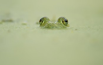 looking out,camouflage,wildlife,Frog