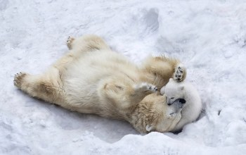 son,fur,puppy,paws,Polar bears,animals,mother,wild,playing,winter,snow,wildlife,ice