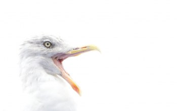 herring gull,beak,eye