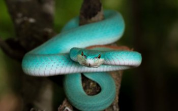 змея,Blue Trimeresurus insularis