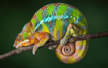 reptile,chameleon,color changing