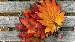 maple,leaves,colorful
