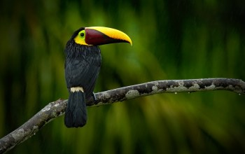 Ramphastos swainsonii,yellow