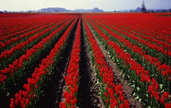 tulips,Holland,field,голандия