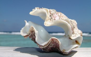 clam,shell