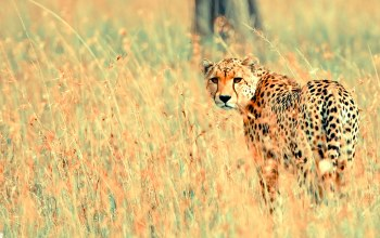 cheetah,beautiful