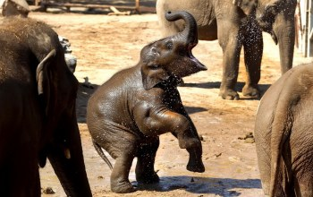 elephant,water,with,plays,baby
