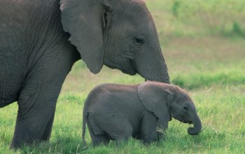 elephant,baby,Kenya,calf,in