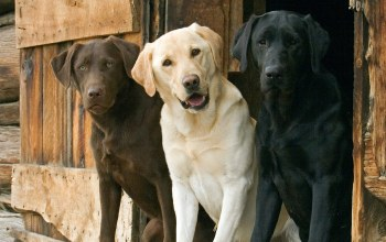 labs,chocolate,yellow