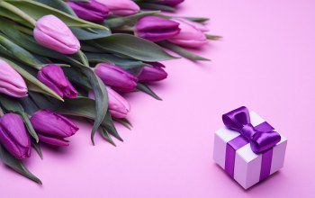 tulips,gift,Purple