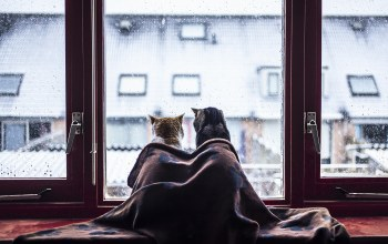 situation,rain,blanket,water drops,animals,felines,glass,funny,Cats,ears,fur,Window