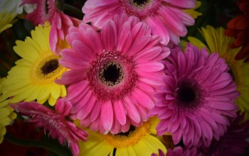 colors,gerbera,Герберы,Розовые герберы