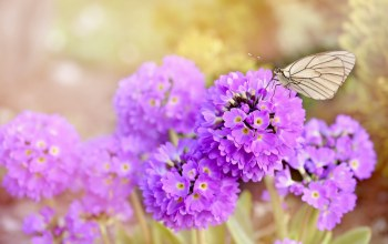 Purple,spring,цветы,earlybloomer,Butterfly