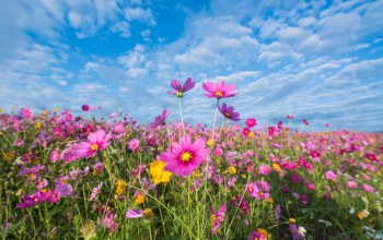 поле,небо,summer,луг,цветы,pink,colorful,розовые,meadow,лето,field,cosmos,flowers