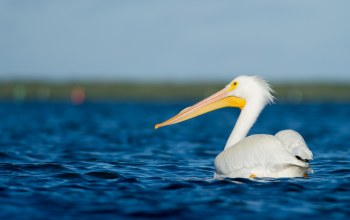 wildlife,pelican,water