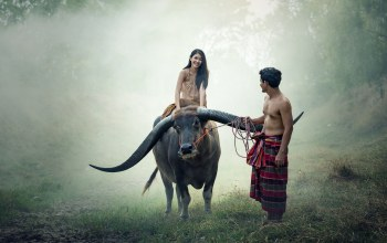 cow,people,couple,thailand